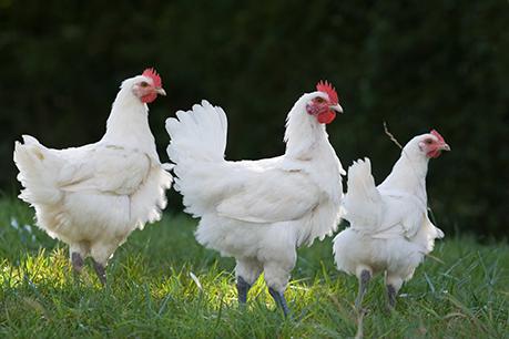 oeufs-poules-plein-air-valfleuri