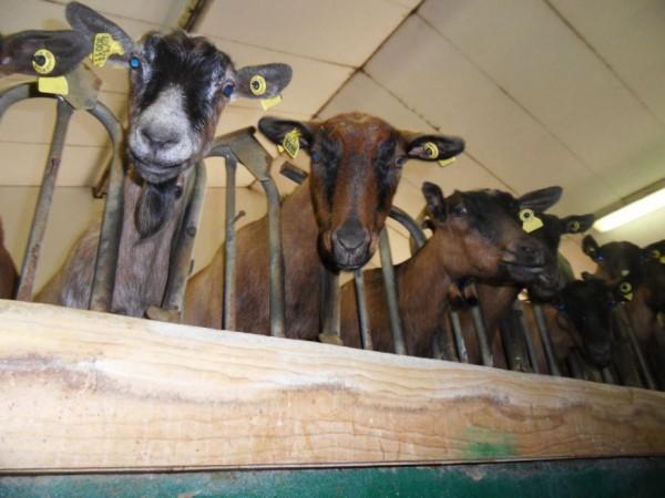 chèvres de la ferme de l'auberge de la chèvrerie